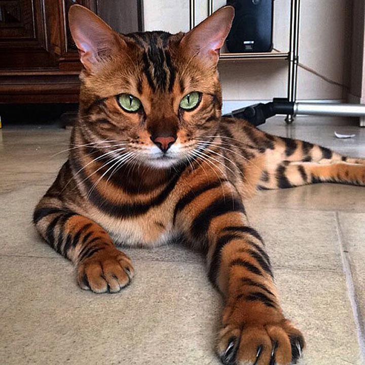 Самая красивая кошка в мире цена