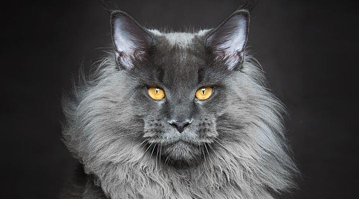 Мистические чудовища: волшебная и завораживающая красота мейн-кунов