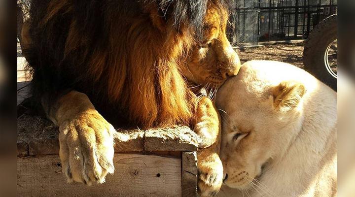 Умирающая львица потеряла всякую надежду на выживание. Но ей повезло встретить свою любовь