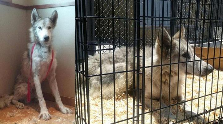 Одинокий измученный волк упорно избегал людей, но любовь сотворила настоящее чудо!