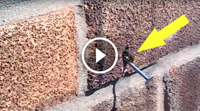 Пчела… вытаскивает гвоздь из стены! Смотрю видео и не верю своим глазам!