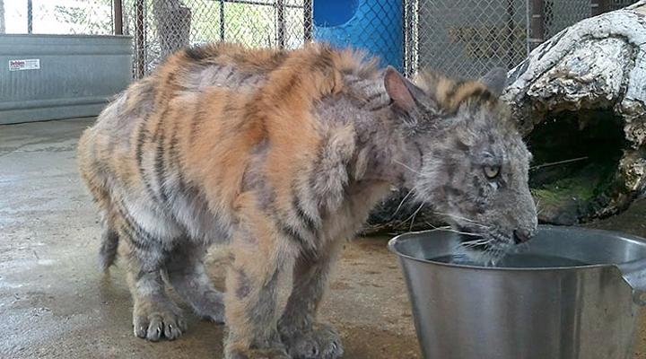 Когда эту 9-месячную тигрицу спасли, она весила лишь 1/4 от нормы. Посмотрите, как она потрясающе преобразилась!