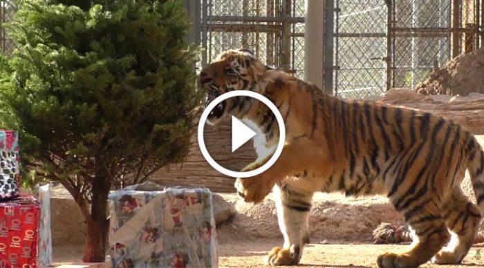 Большие коты, которые тоже любят праздники и подарки