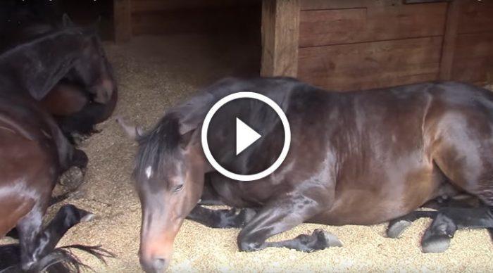 Это была настоящая идиллия  – 7 сладко спящих лошадей в конюшне. Но затем раздался дружный пердеж