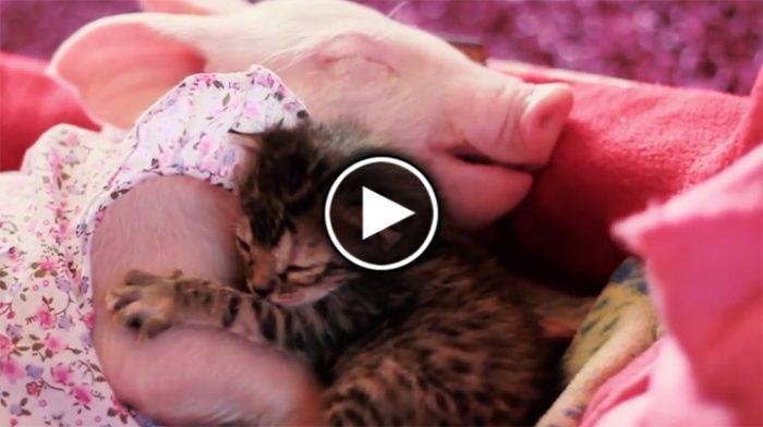 Поросенок и котенок — лучшие друзья. Кадры, которые вызывают умиление
