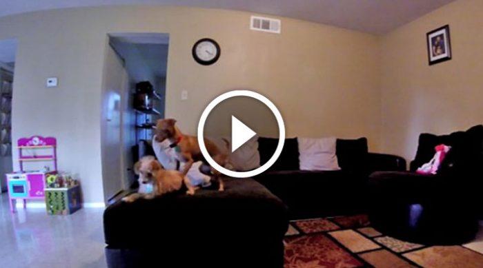 Он установил камеру и узнал, что делают собаки, когда все уходят. Это нужно видеть!