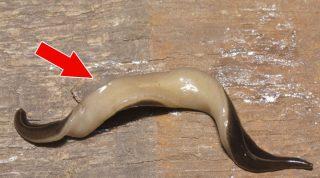 Этот безобидный на вид паразит очень опасен. Немедленно вызывайте спасателей, если увидите его!