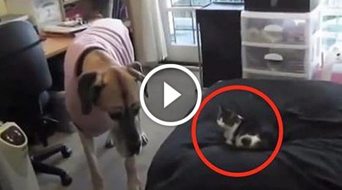 Пес не смог с собой совладать, когда увидел как наглый кот занял его место. Потрясающе смешно!