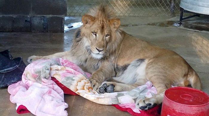 Спасённый лев даже спустя два года спит в любимом одеяле каждую ночь