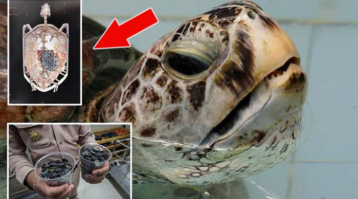 Сделав рентген этой черепахи, ветеринары поняли, что нужно действовать немедленно