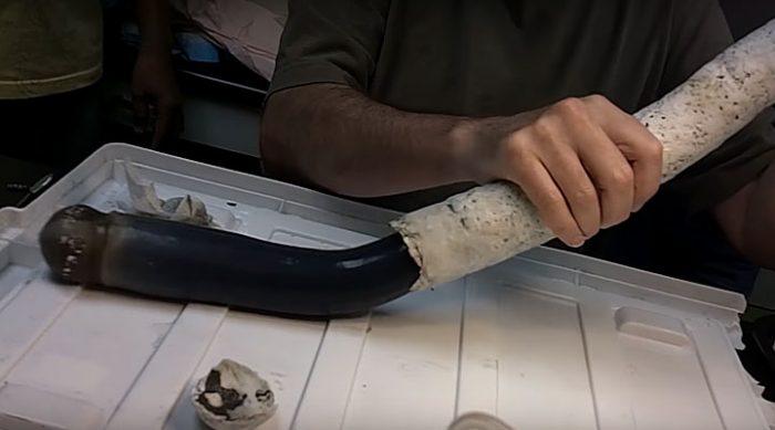 Гигантский корабельный червь, который живет за счет кишечных газов и бактерий, найден на Филиппинах