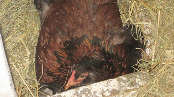 Фермер был уверен, что его курица высиживает яйца. Когда подошел поближе – то не поверил своим глазам!