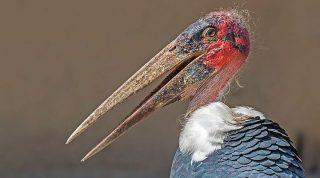 Знакомьтесь: самая уродливая птица в мире