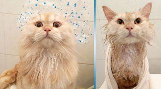 Лучший кот – это мокрый кот. Это мурчащее создание просто обожает мытье в душе
