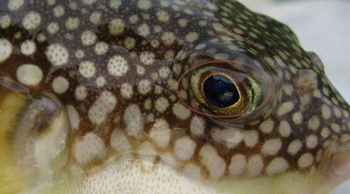 Рыба, которая убивает — самый экстремальный и ядовитый деликатес в мире
