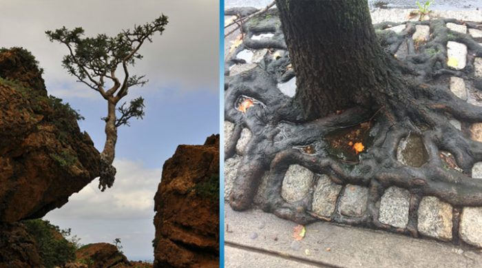 20 деревьев, которые умудряются расти в самых странных и неподходящих условиях