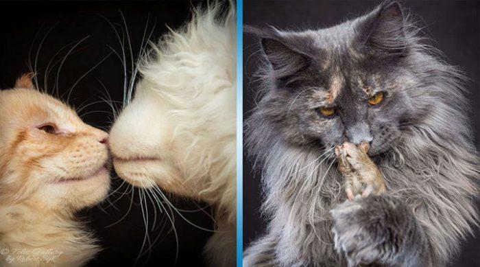 Грациозные и выразительные кошки мейн-кун в лучших работах фотографа Роберта Сижки