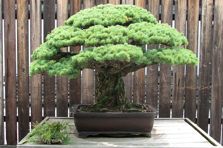 бонсай из Хиросимы