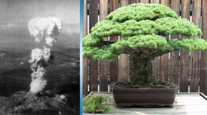 Бонсай из Хиросимы: это дерево действительно уникально, ведь оно пережило атомный взрыв