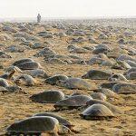 Индия на карантине: пока люди сидят дома, оливковые черепахи отложили на пляже более 60 миллионов яиц!