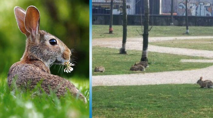Милан: после того, как люди исчезли с улиц, городские парки заполонили дикие кролики